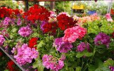 Ebből csak egyetlen csepp kell a muskátlira: virágözön lesz az eredmény Garden Planning, Garden Plants, Orchids, Crafts For Kids, Flowers, Gardening, Outdoors, Tips, Kids Arts And Crafts