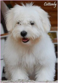 Coton de tulear..I wish I could get our Coton's hair to be this long without matting!