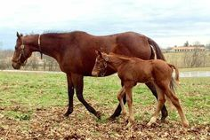 The American Pharoah - Kindle colt today, at five days old.  Photo credit: Sharee Woodhall