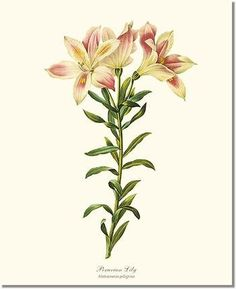 Vintage Botanical Flower Art Print: Lily, Peruvian (Redoute) 8x10 Print Alstroemeria pelegrina