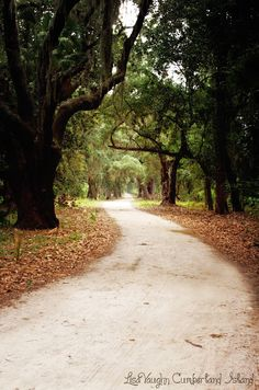 Cumberland Island is one of the largest undeveloped barrier islands along the Atlantic coast. The island has one of the largest maritime. Cumberland Island Georgia, Forests, Acre, Coastal, Places To Visit, Florida, Country Roads, Trees, California