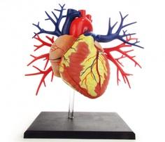 Anatomical Heart Kit