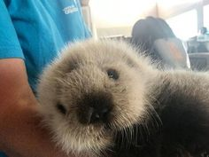 Vancouver Aquarium Takes in Tiny Sea Otter Pup! — The Daily Otter Baby Otters, Baby Sloth, Cute Baby Animals, Animals And Pets, Funny Animals, Wild Animals, Otter Pup, Vancouver Aquarium, Vancouver Island