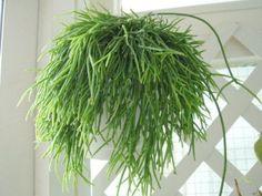 Rhipsalis Cassutha / baccifera~Mistletoe Cactus~Succulent - hanging