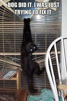 Funny cat wrecking blinds