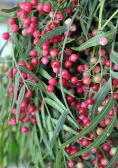Pink peppercorns (a misnomer, as they are unrelated to true peppercorns) come from two plants native to South America: the Peruvian peppertree (Schinus molle) and Brazilian peppertree (Schinus terebinthifolius).