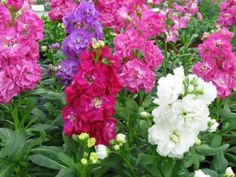 Stock Mix, Perfume Plant Gillyflower Night scented, 40seeds