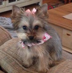 #Yorkie Poo-my little Lola