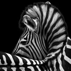 when i was a child, i had the most amazing experience with a zebra at the L.A. Zoo. i've loved the animals ever since.