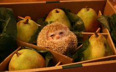 A cute small hedgehog hidden in a wooden box with green pears. A hedgehog is lying on his back and it's easy to confuse with a pear. Cute Baby Animals, Funny Animals, Animal Funnies, Funny Pets, Animals Images, Wallpapers En Hd, Hd Wallpaper, Cute Hedgehog, Happy Hedgehog