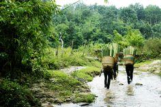 Harvesting original bamboo from Vietnam.