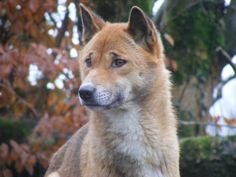 New Guinea singing dog by Marie Hale, via Flickr