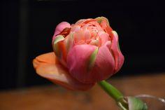 pink tulip # www.cabiancadellabbadessa.it