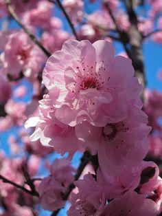 Japanese Flowering Cherry [Prunus serrulata 'Kwanzan']
