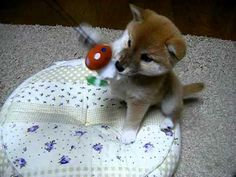 A cute video of a Shiba Inu puppy playing. Omg @Corey B!