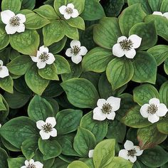 Bunchberry.  Related to Dogwoods.  Zones 3-6. Part sun to shade.  About 6in tall.