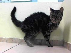 TO BE DESTROYED 6/10/14 ** Teresa interacts with the Assessor, solicits attention, is easy to handle and tolerates all petting. This cat can go to a beginner home. ** Brooklyn Center  My name is TERESA. My Animal ID # is A0942854. I am a spayed female brn tabby domestic sh mix. The shelter thinks I am about 6 YEARS old.  I came in the shelter as a STRAY on 05/29/2014 from NY 11208, owner surrender reason stated was ABANDON