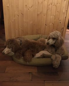 Standard Poodle Bella and Storm Yes they shared