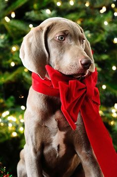 I'd be ok if a lil weimaraner showed up with a bow by the tree!
