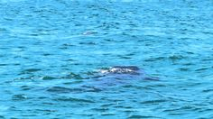 Whale Shark Bird Island Rocky Point, Puerto Penasco, Mexico in the Upper Gulf of California, Sea of Cortez www.RockyPointBoatTrips.com
