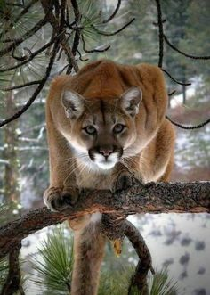A mountain lion (aka puma, cougar) scans for food and danger from the safety of a tree. Nature Animals, Animals And Pets, Cute Animals, Wild Animals, Wildlife Nature, Baby Animals, Big Cats, Cats And Kittens, Cute Cats