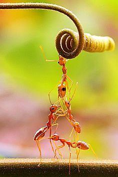 Teamwork of ants