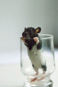 It is impossible to deny this little guy's cuteness. | 18 Reasons Why Rats Are The Most Underrated Pet