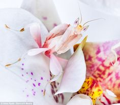Malaysian Orchid Mantis by Alex Hyde
