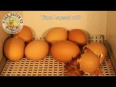 Chick Hatching Video - YouTube