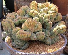 Euphorbia obesa crestada.