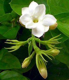 """Hirt's Arabian Tea Jasmine Plant - Maid of Orleans - 8"""" Pot"""