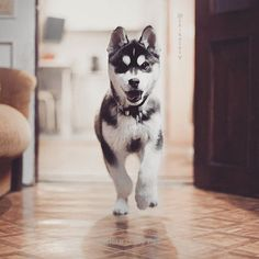 Husky Funny Face Momments . Follow Us to See more! #husky #huskyface #whereismypet