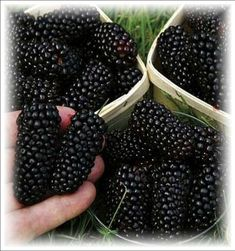 Garden Trees, Trees To Plant, Outdoor Plants, Outdoor Gardens, Planting Seeds, Planting Flowers, Blackberry, Raspberry, Hardy Perennials