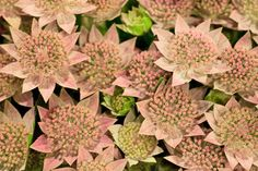 Pale Pink Astrantia at New Covent Garden Flower Market - July 2013