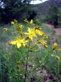 Aspecte general del pericó o herba de Sant Joan (Hypericum perforatum)