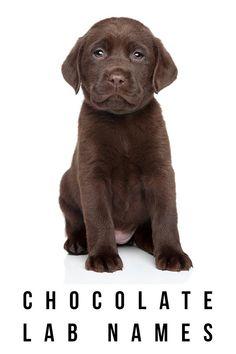 chocolate lab names
