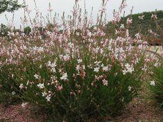Gaura lindheimeri- white I love these- only blooms once or twice a year in san diego Fall Plants, Garden Plants, Gaura Plant, Drought Tolerant Garden, Hosta Gardens, Best Perennials, Plant Nursery, Autumn Garden, Edible Garden