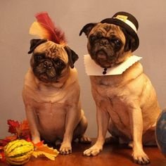 Happy Thanksgiving from Pug Rescue Network