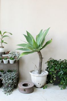 Agave attenuata Indoor Garden, Garden Pots, Indoor Plants, Green Plants, Green Flowers, Agave Attenuata, Inside Plants, Plant Identification, Agaves