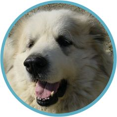 Clowie's Corner | A Pyrenean Mountain Dog's perspective