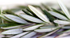 The ancients knew rosemary as a memory booster among other things, but only now is science catching up with,  remembering and confirming their ancient healing wisdom.