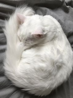 A sleepy, fluffy tailed, white cat to make your day better. Turkish Angora Cat, Angora Cats, Pretty Cats, Beautiful Cats, Manecoon Cat, Purebred Cats, Cat Anatomy, Curious Cat, Norwegian Forest Cat