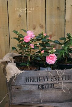 Camellias ~ The Swenglish Home