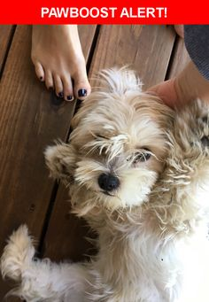 Is this your lost pet? Found in Kansas City, MO 64110. Please spread the word so we can find the owner!  Description: Female, 6-8 months, probably shih tzu  Nearest Address: 71 hwy & East 55th Street, KCMO, MO, United States