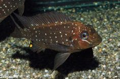 Petrochromis Trewavasae Lake Tanganyika
