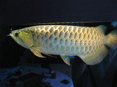 Aquarium Air Pump, Aquarium Fish, Dragon Fish, Bonsai Plants, Water Life, Beautiful Fish, Freshwater Fish, Tropical Fish, Fish Tank