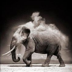 """hirethestache: """" Grey Nick Brandt's photographs of African animals and landscapes are both epic and iconic. It's a vision of Africa that we have not seen before. The photographs of Nick Brandt are. Nick Brandt, Photo Elephant, Elephant Love, Elephant Walk, Alabama Elephant, Elephant Images, Beautiful Creatures, Animals Beautiful, Cute Animals"""