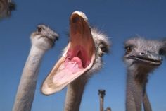 Ostrich - Do you know people that look that way when they talk? Not sayin, just sayin