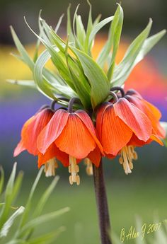 ~~ Fritillaria Crown Imperial ~~ I have a picture very much like this that I took in Monet's Gardens in France.but beautiful flowers! Unusual Flowers, Amazing Flowers, Beautiful Flowers, Beautiful Gorgeous, Bridal Flowers, Dream Garden, Trees To Plant, Planting Flowers, Flowers Garden