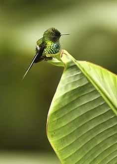 The smallest hummingbird, Bee Hummingbird or Zunzuncito (Mellisuga helenae), is a species of hummingbird that is endemic to Cuba and Isla de la Juventud. Wikipedia says it grows to 5-6 cm and is not only the smallest hummingbird, but its also the smallest bird in the world. So tiny, cute and pretty!
